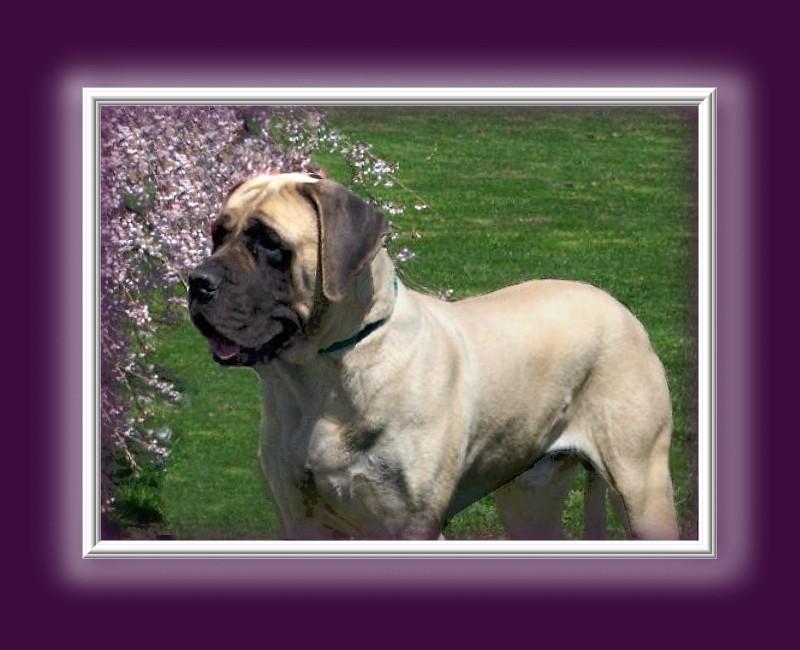 To protect, preserve and promote the true purebred American Mastiff""